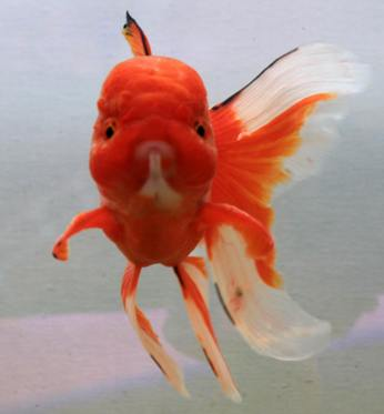 poisson rouge, manfred la-fontaine, goldfish, Goldfisch,